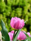 Tulip DSC_6623