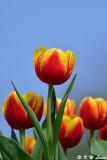 Tulip DSC_6632