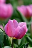 Tulip DSC_6625