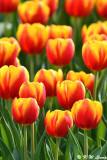 Tulip DSC_6627