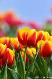 Tulip DSC_6634