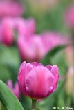 Tulip DSC_6619
