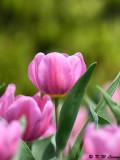 Tulip DSC_6612