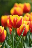 Tulip DSC_6628