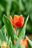 Tulip DSC_6626
