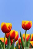 Tulip DSC_6631