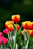 Tulip DSC_6646