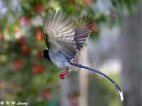 Blue Magpie DSC_7340