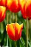 Tulip DSC_7490