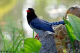 Blue Magpie DSC_6993