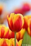 Tulip DSC_7488