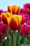 Tulip DSC_7485
