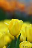 Tulip DSC_7448