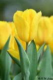 Tulip DSC_7391