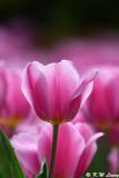 Tulip DSC_7452