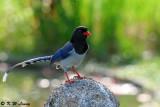 Blue Magpie DSC_7007