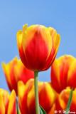 Tulip DSC_7481