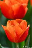 Tulip DSC_7440
