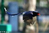 Blue Magpie DSC_6953