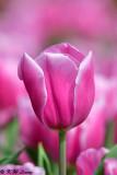 Tulip DSC_7413