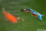 Common Kingfisher DSC_7727