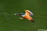 Common Kingfisher DSC_7726
