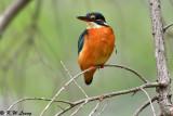 Common Kingfisher DSC_7809
