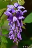 Wisteria sinensis DSC_7922