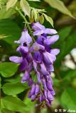 Wisteria sinensis DSC_7927