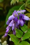Wisteria sinensis DSC_7930