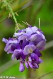 Wisteria sinensis DSC_7939