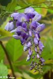 Wisteria sinensis DSC_7943