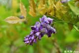 Wisteria sinensis DSC_7949