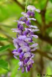 Wisteria sinensis DSC_7946
