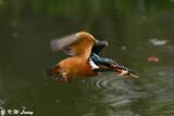 Common Kingfisher DSC_7856