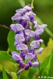 Wisteria sinensis DSC_7951