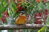 Common Kingfisher DSC_7914