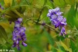 Wisteria sinensis (紫藤花)