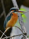Common Kingfisher DSC_7903