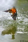 Common Kingfisher DSC_7854