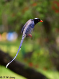 Blue Magpie DSC_7752