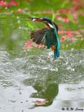 Common Kingfisher DSC_7851