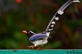 Blue Magpie DSC_7710