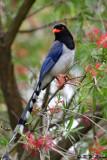 Blue Magpie DSC_7816