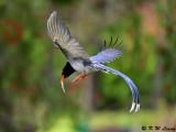 Blue Magpie DSC_7759