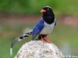 Blue Magpie DSC_7841