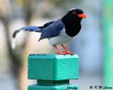 Blue Magpie DSC_7143
