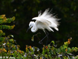 Little Egrets (小白鷺)