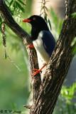 Blue Magpie DSC_5623