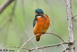 Common Kingfisher DSC_7811
